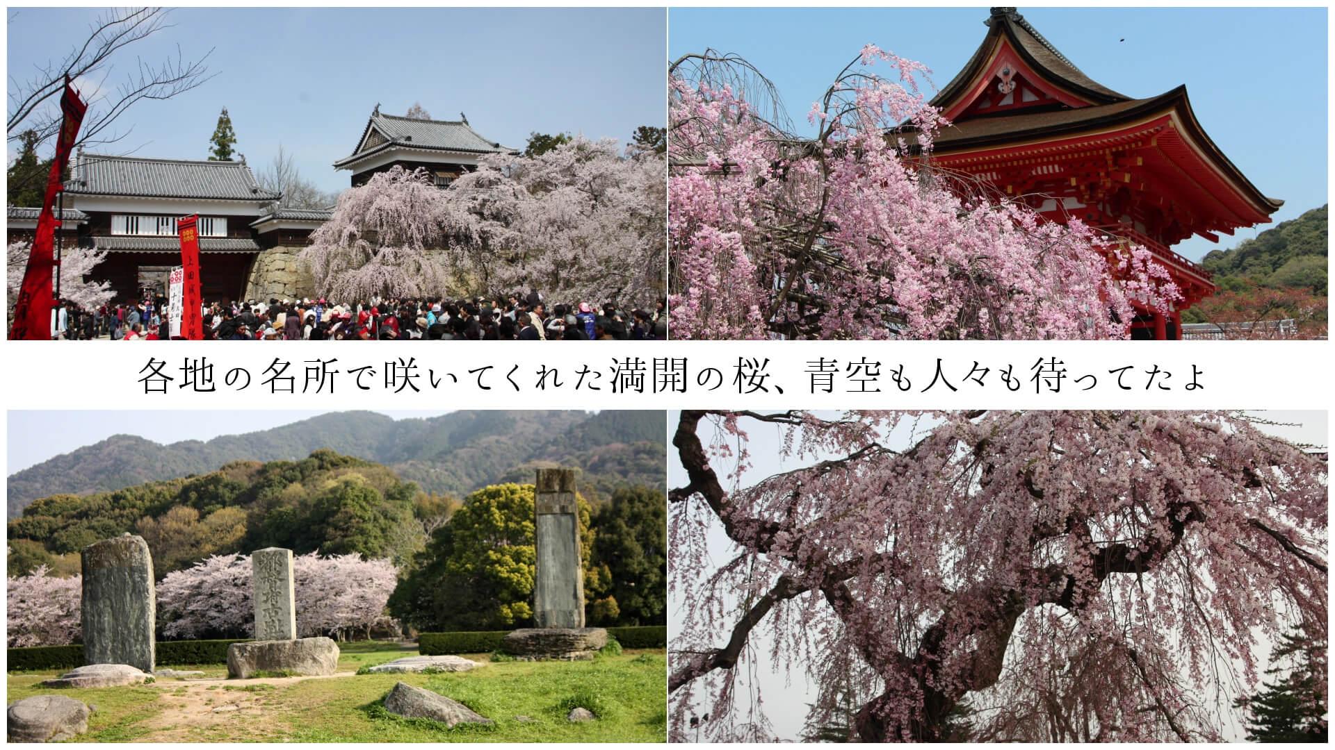 各地の名所で咲いてくれた満開の桜、青空も人々も待ってたよ
