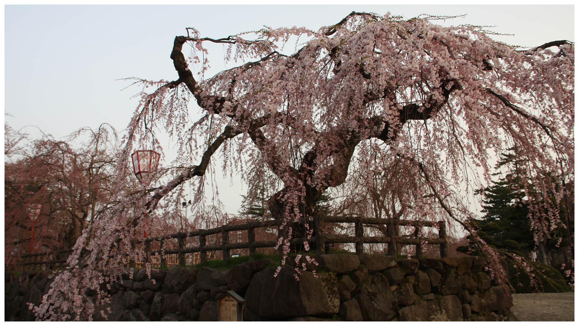 津軽・弘前城のシダレザクラ