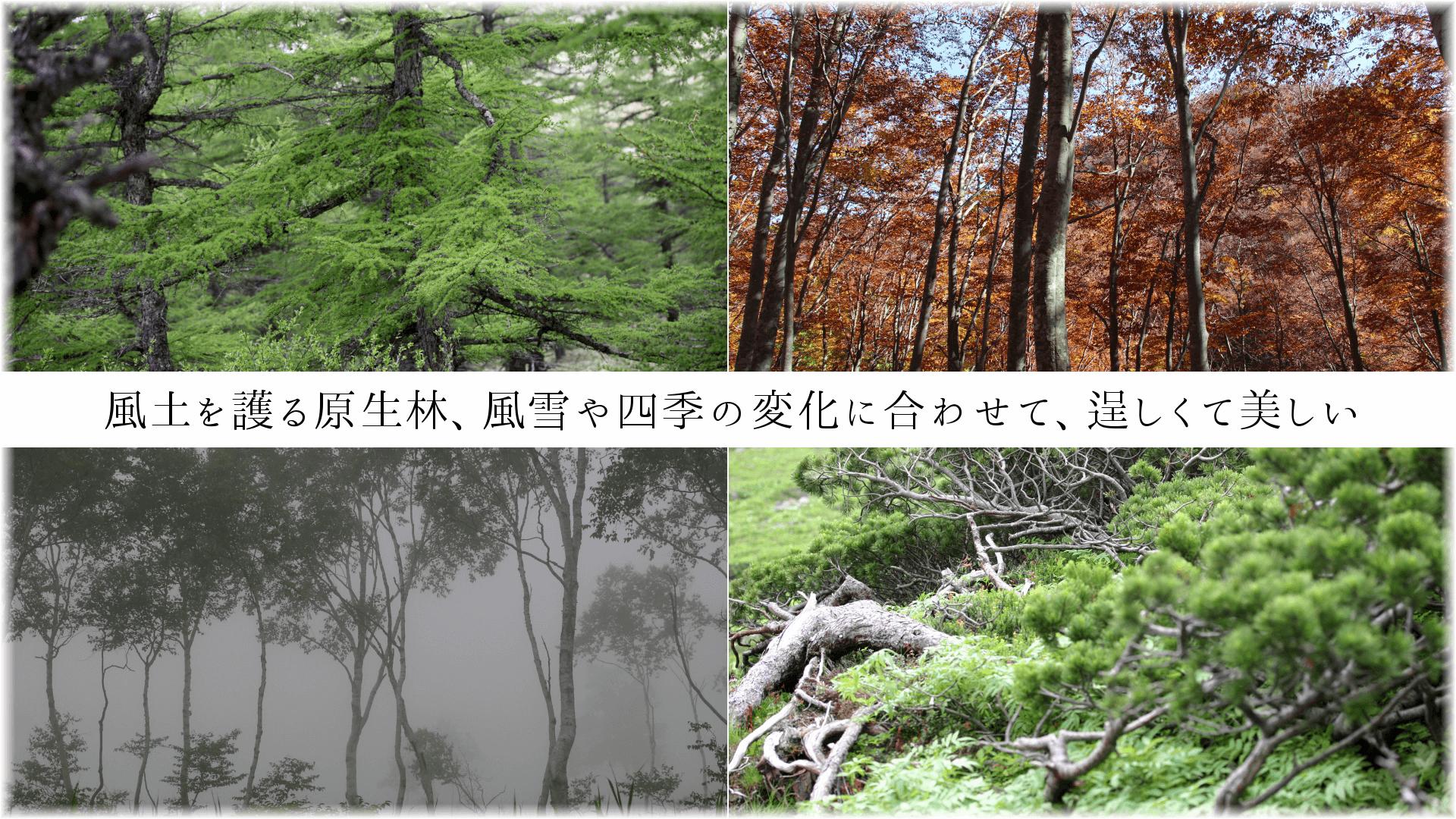 風土を護る原生林、風雪や四季の変化に合わせて、逞しくて美しい
