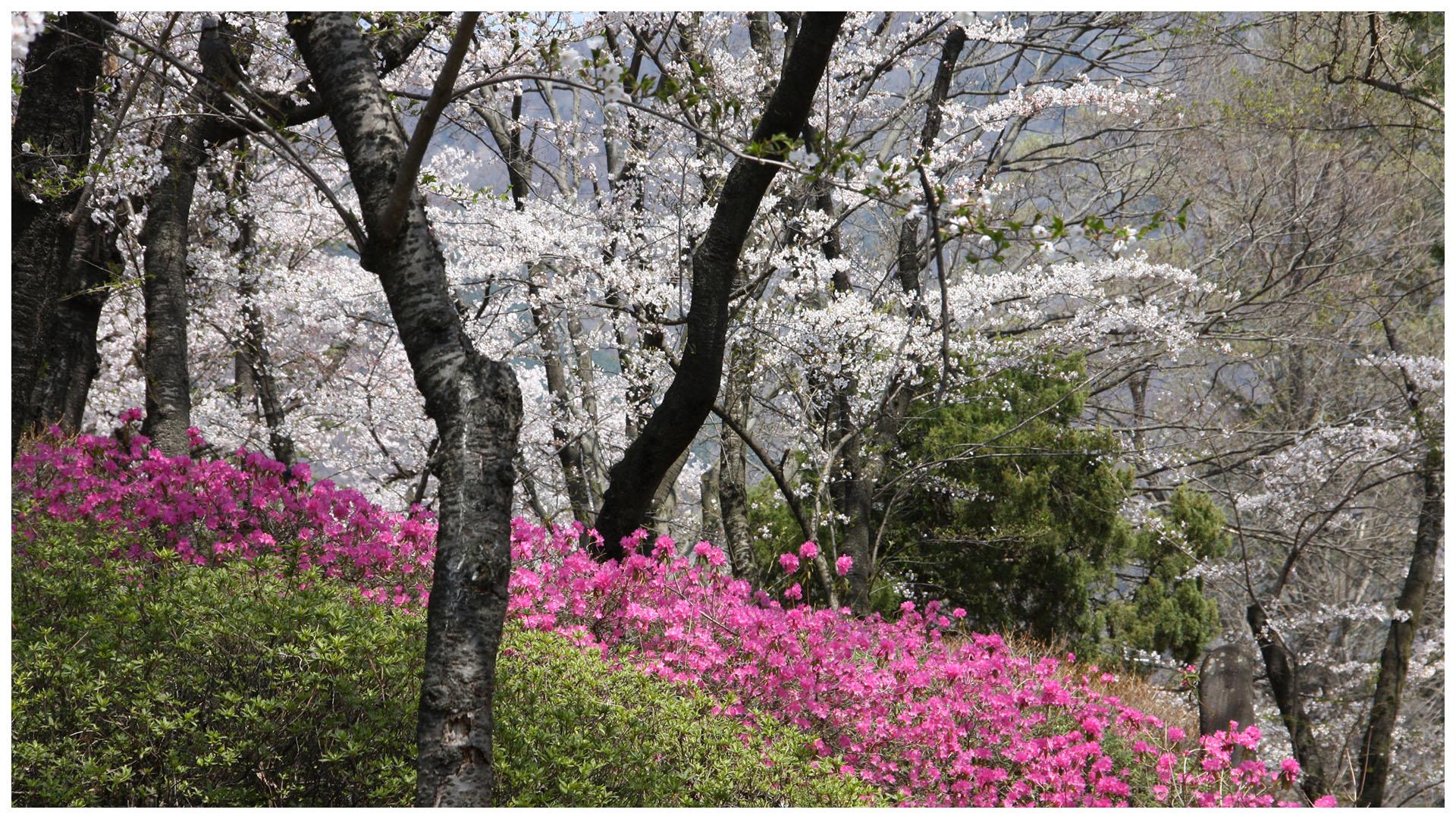 ミツバツツジと桜