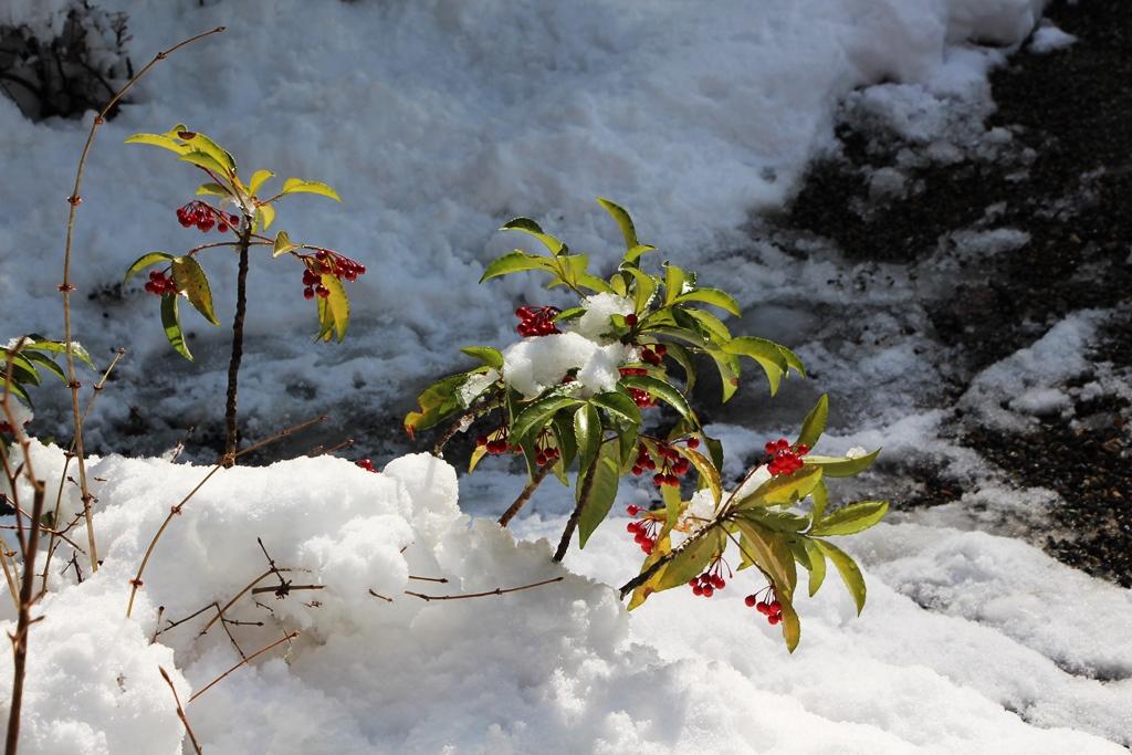 積雪のマンリョウと植物たち(滋賀・金剛輪寺)