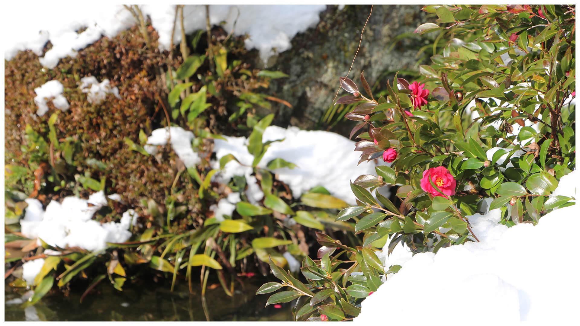 サザンカと雪の庭