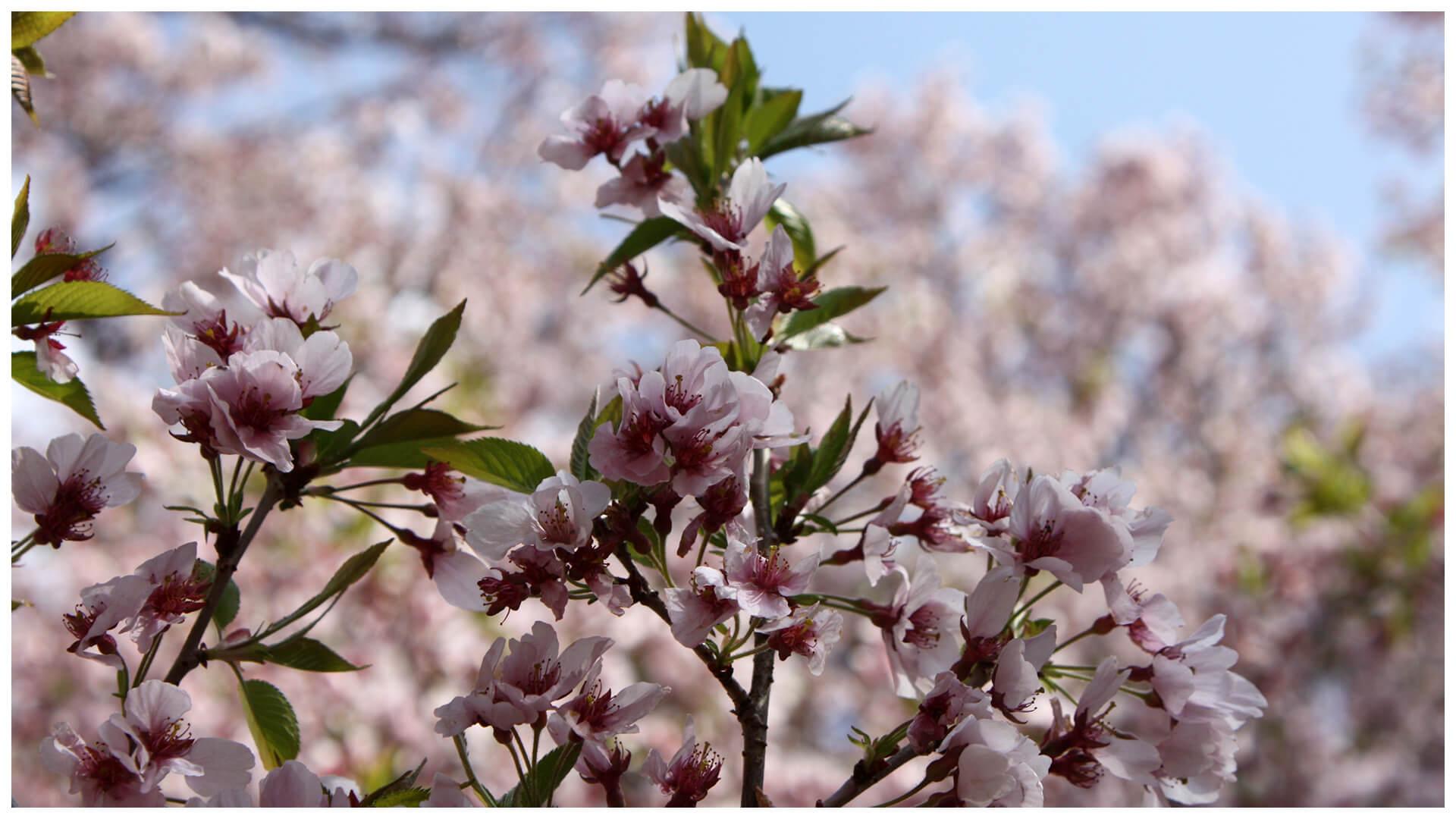 高遠小彼岸桜(タカトオコヒガンザクラ)