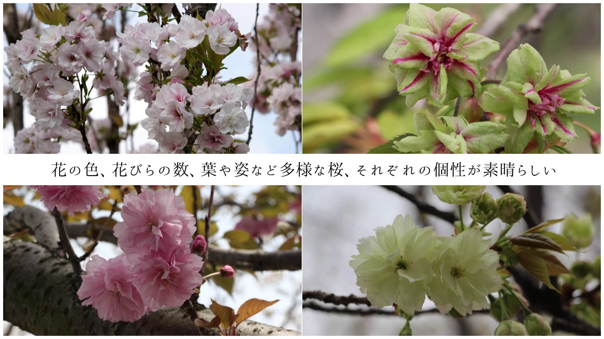 花の色、花びらの数、葉や姿など多様な桜、それぞれの個性が素晴らしい