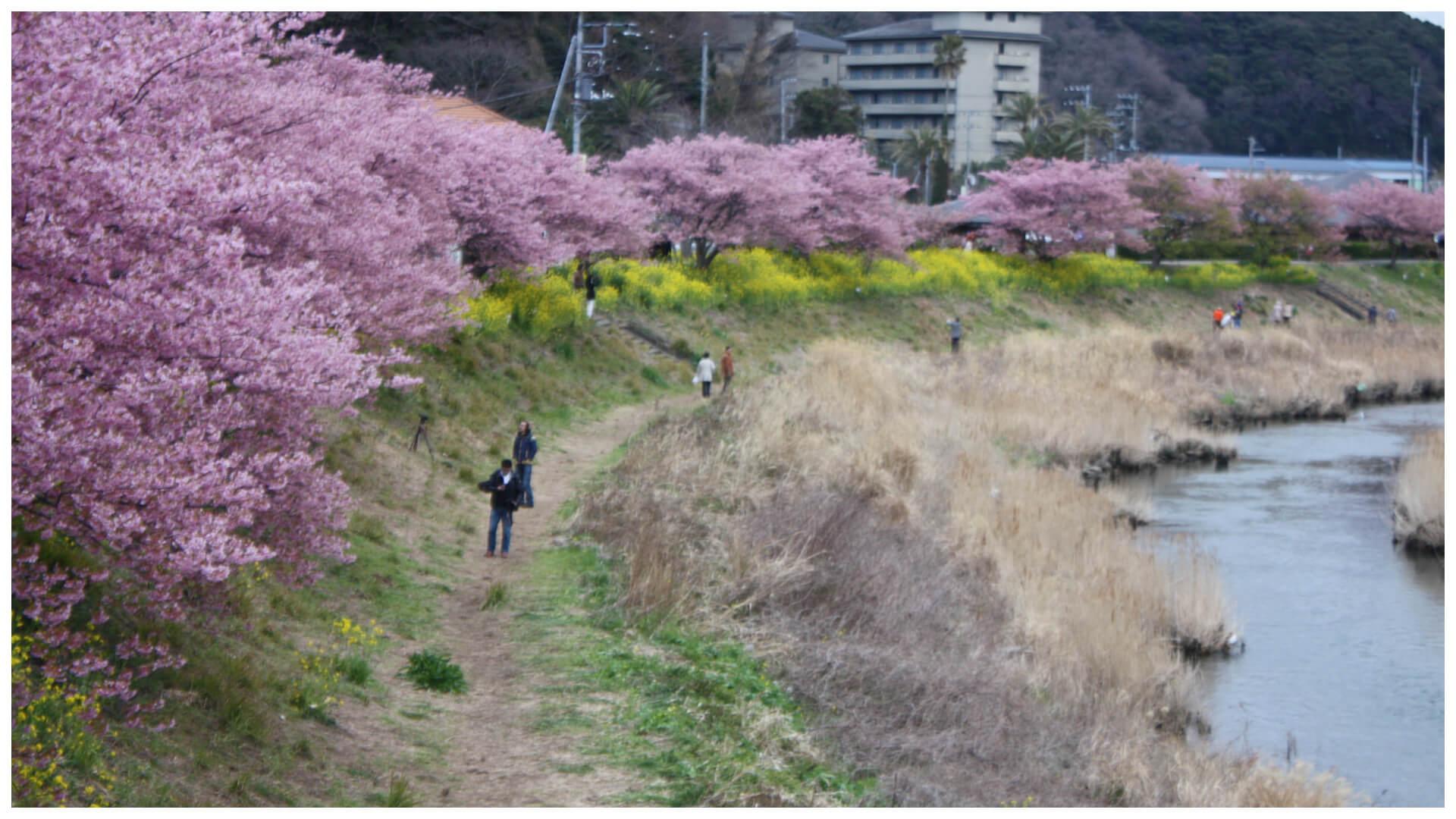 河津桜の並木とナノハナ