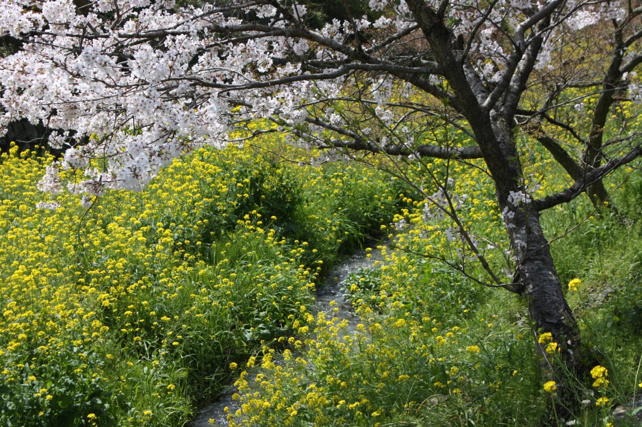 菜の花と桜(福岡・秋月)